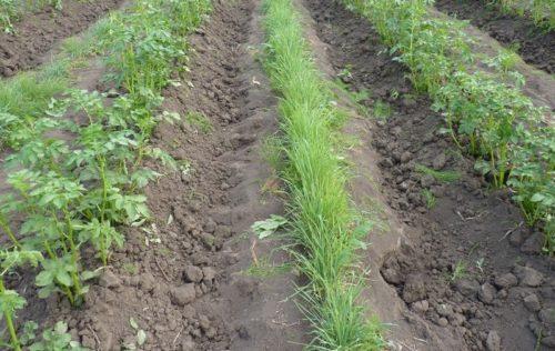 Выращивание овса на картофельном поле