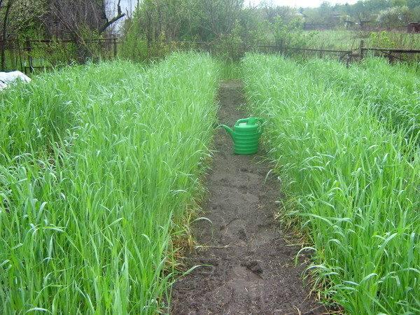 Зеленая пластиковая лейка на тропинке между грядками с овсом
