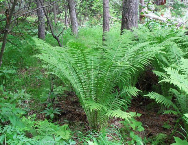 Взрослый куст папоротника орляка под высокими деревьями смешанного леса