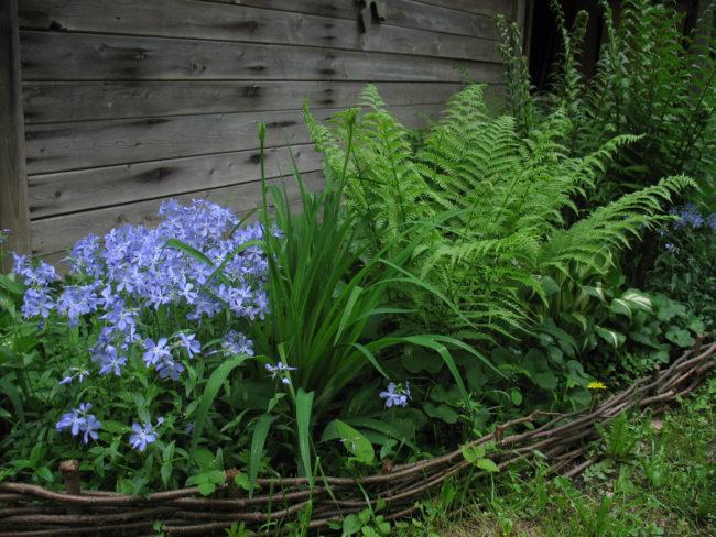 Выращивание лесного папоротника за деревянной стеной сарая