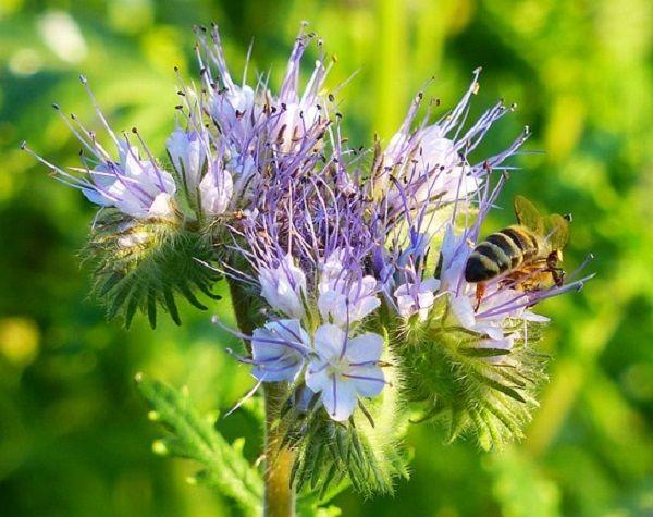 Пчела на цветке фацелии пижмолистной в середине летнего сезона