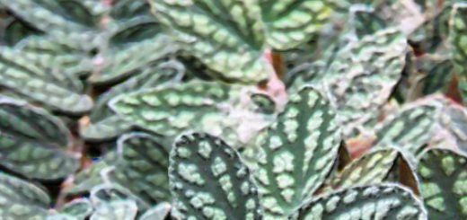 Пеллиония даво пышные листья с белыми пятнами