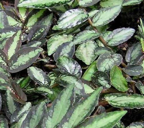 Темно-зеленые листья со светлыми прожилками на кусту пеллионии даво