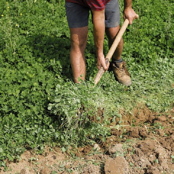 Летняя перекопка посадок белой горцицы штыковой лопатой