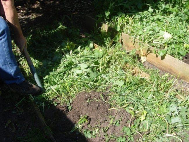Летняя перекопка скошенной горчицы на грядке под капусту