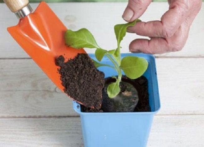 Пересадка рассады петунии в торфяной таблетке в небольшой горшок
