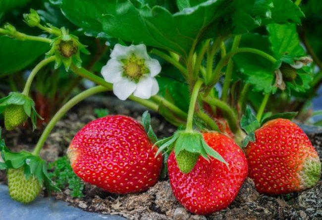 Первые крупные ягоды на кустики гибридной клубники в начале лета