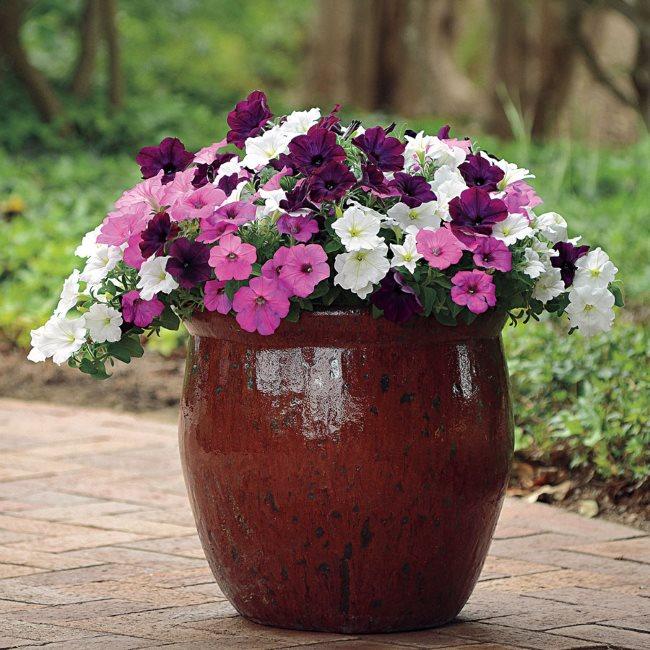Разноцветные петунии в глиняном горшке на садовой дорожке