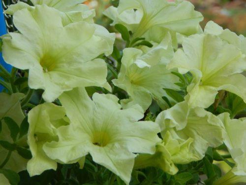 Нежно-желтые лепестки цветков ампельной петунии Crazytunia Bitter Lemon