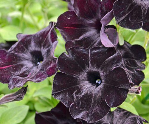 Темно-фиолетовые цветки петунии Crazytunia Black Mamba ампельного вида