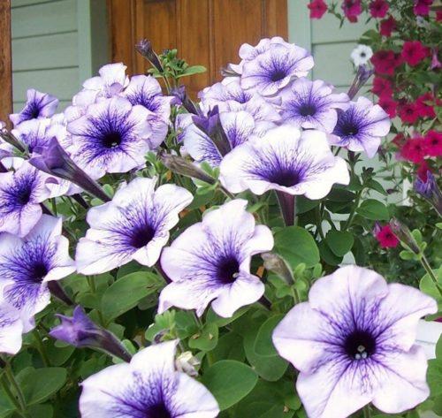 Сиренево-белые цветки на кусту ампельной петунии Surfinia Classic Blue Vein