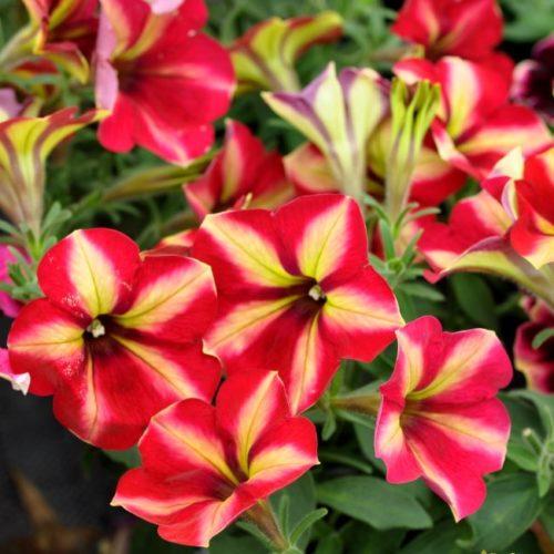 Крупные цветки ампельной петунии сорта Crazytunia Mandeville