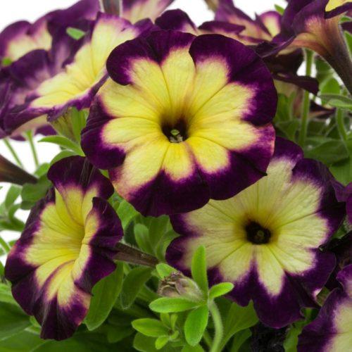 Желто-фиолетовая окраска крупных цветков петунии сорта Crazytunia Moonstruck
