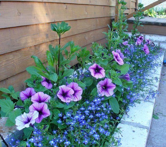 Петуния с сиреневыми цветками на узкой клумбе вдоль стены дома