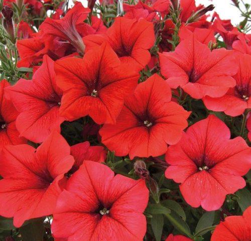 Сочные цветки ярко красного цвета петунии сорта Surfinia Classic Red