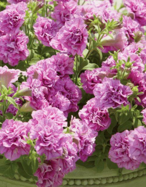 Махровые цветы сиреневого окраса на петунии сорта Surfinia Double