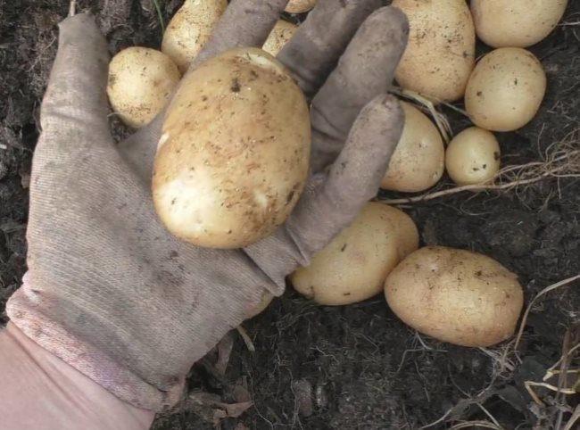 Созревший плод сортового картофеля на ладони огородника в перчатке