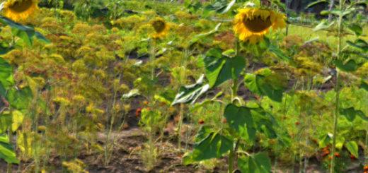Подсолнух с другими растениями на грядке
