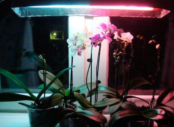 Цветение орхидей под фитолампой на подоконнике городской квартиры