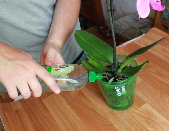 Аккуратный полив комнатной орхидеи через дозатор на пластиковой бутылке