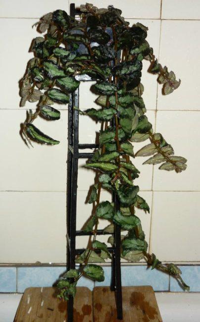 Опрыскивание листьев пеллионии даво в ванной городской квартиры