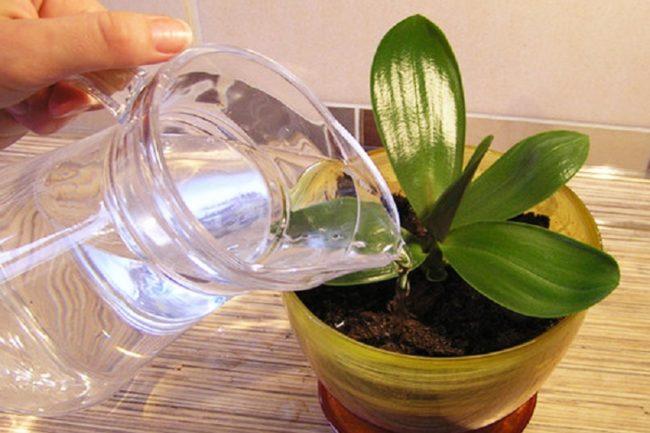 Полив комнатной орхидеи талой водой из стеклянного кувшина