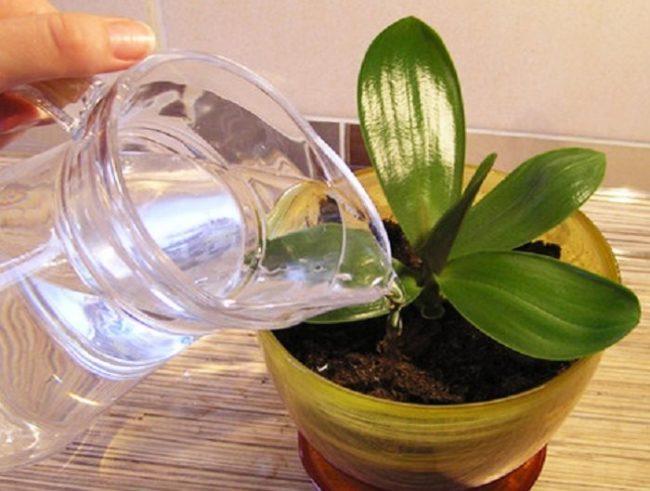 Полив водой из стеклянного графина орхидеи в домашних условиях