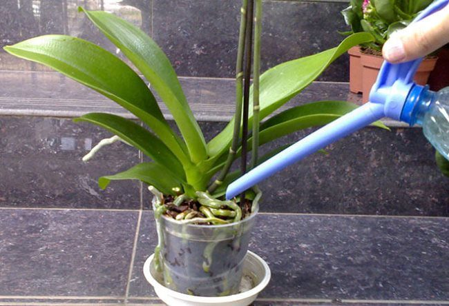 Полив комнатной орхидеи под корень из специального дозатора