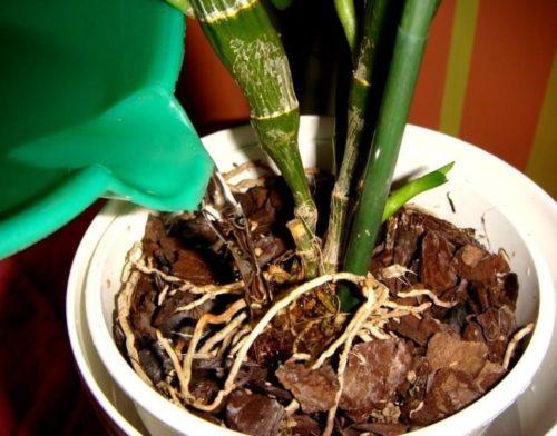 Полив орхидеи Дендробиум в белом пластиковом горшке