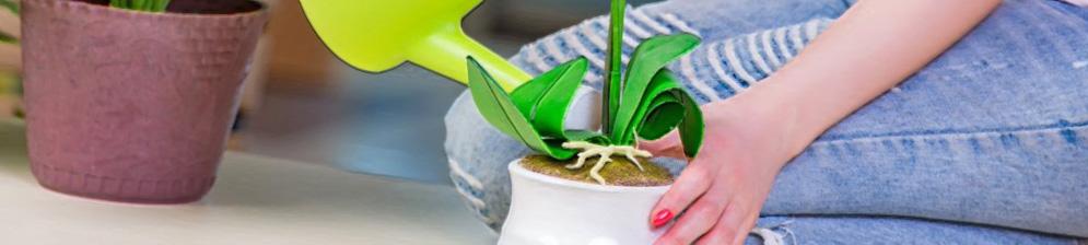Полив орхидеи под корень в горшок из лейки