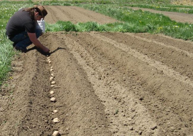 Весенняя посадка ранней картошки параллельными рядами