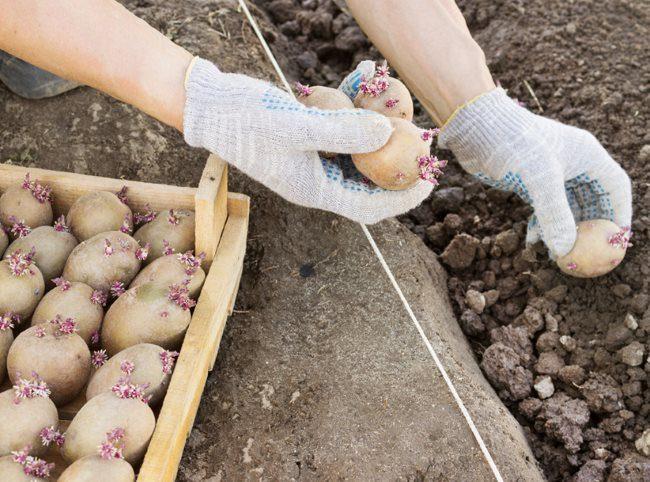 Посадка семенного картофеля в один ряд по натянутой веревке