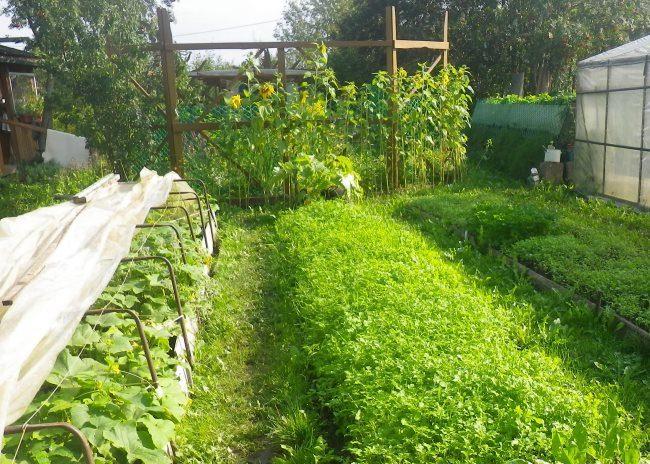 Посадки горчицы в качестве сидерата между огородными грядками