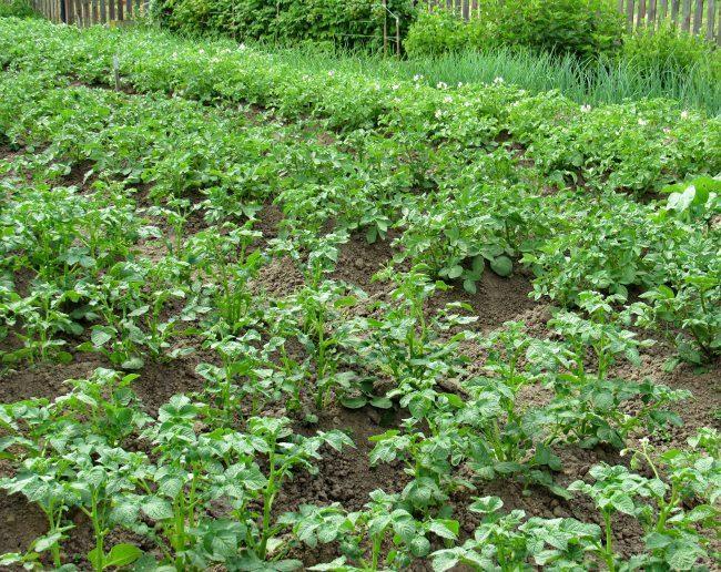 Аккуратные посадки картофелями рядами на дачном участке