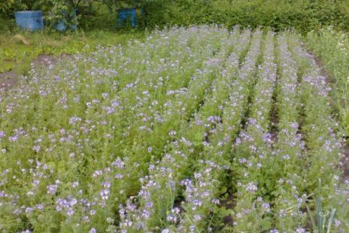 Начало цветения фацелии на огородном участке частного хозяйства
