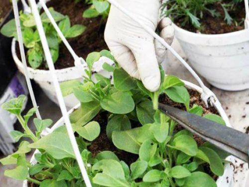 Удаление макушки на длинном побеге петунии садоводом в перчатках