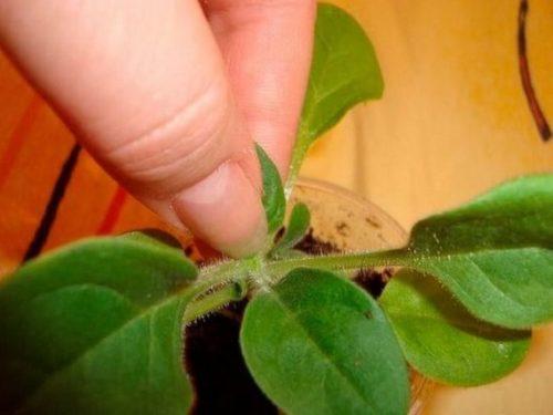 Прищипывание верхушки на рассаде петунии в весенний период для лучшей кустистости
