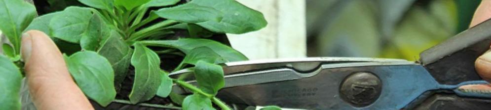 Прищипывание петунии без цвета вблизи обычными ножницами