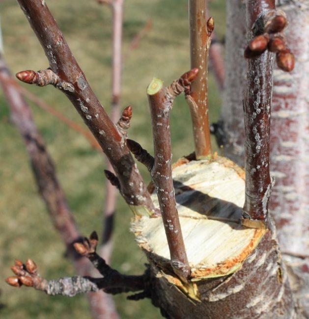 Весенняя прививка черенков черешни за кору вишневого подвоя