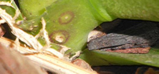 Пятна в самом начале ствола орхидеи у корня