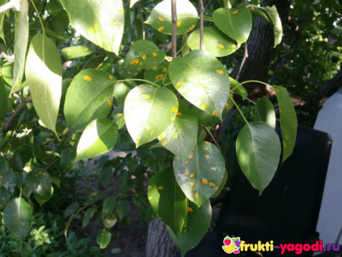 Ржавчина на листе груши саженец молодой