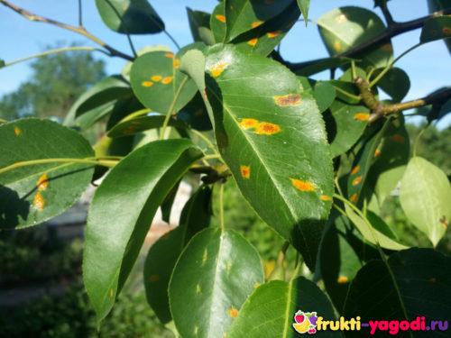 Ржавчина на листе груши сорта Талгарская красавица