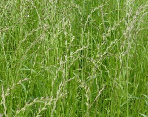 Колоски семян на однолетнем райграсе в середине лета