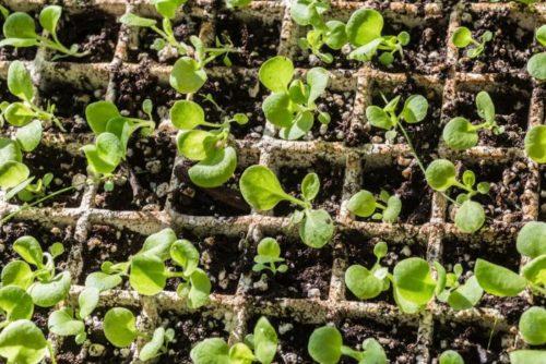 Выращивание рассады ампельной петунии в бумажных контейнерах