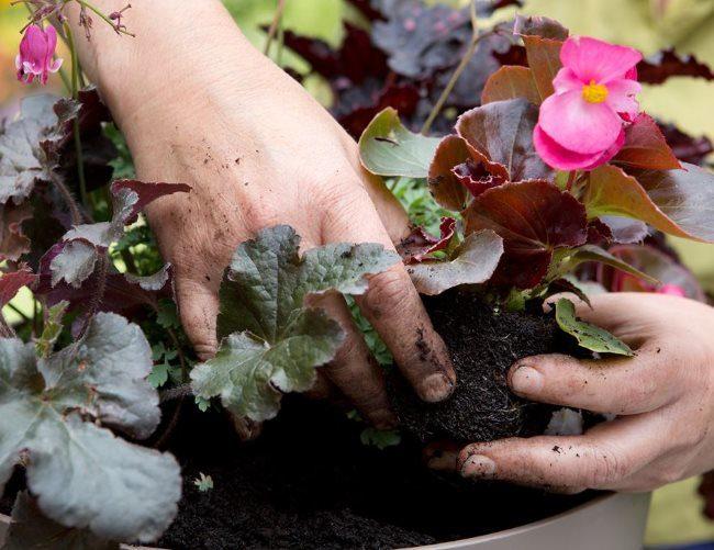 Пересадка цветущей бегонии в горшок с другими комнатными растениями
