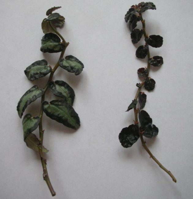 Изменение цвета и формы листьев пеллионии даво в зависимости от уровня освещения
