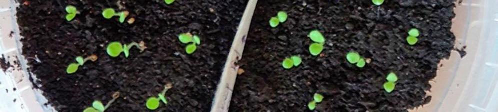 Ростки петунии вблизи посаженные из семян