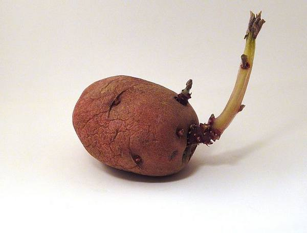 Старый клубень красной картошки с длинным ростком светлого оттенка