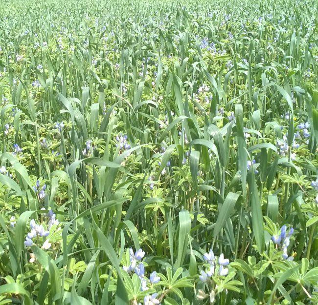 Совместная посадка озимой ржи и вика мохнатой на одном поле фермерского хозяйства