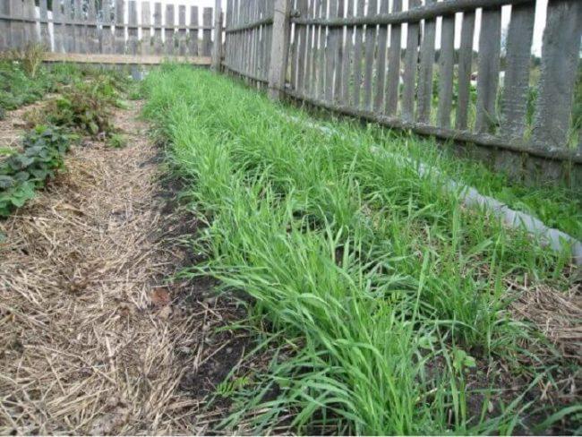 Посевы озимый ржи вдоль деревянного забора садового участка